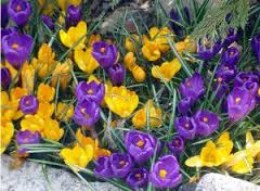 crocuses-thegardenshop-ie